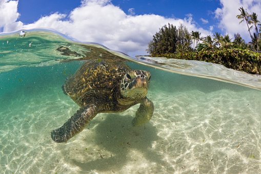 Green Turtle「Green Turtle, Chelonia mydas, Oahu, Pacific Ocean, Hawaii, USA」:スマホ壁紙(9)