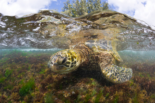 Green Turtle「Green Turtle, Chelonia mydas, Oahu, Pacific Ocean, Hawaii, USA」:スマホ壁紙(5)