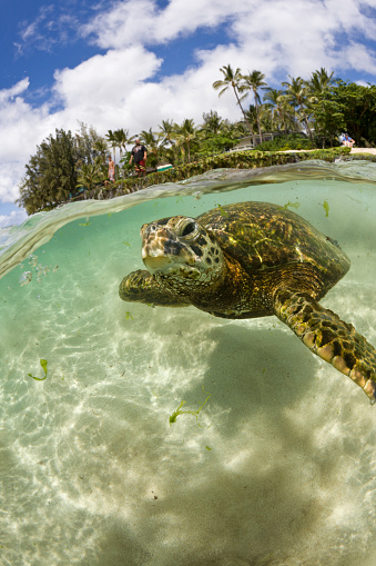 Green Turtle「Green Turtle, Chelonia mydas, Oahu, Pacific Ocean, Hawaii, USA」:スマホ壁紙(19)