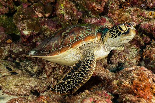 Green Turtle「Green Turtle Chelonia mydas Gets Some Rest at the Reef, Palau, Micronesia」:スマホ壁紙(8)