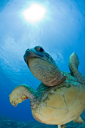 Green Turtle「Green Turtle, Chelonia mydas, Maui, Hawaii, USA」:スマホ壁紙(11)