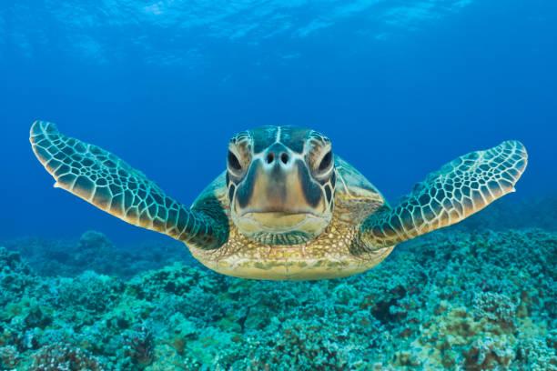 Green Turtle, Chelonia mydas, Maui, Hawaii, USA:スマホ壁紙(壁紙.com)