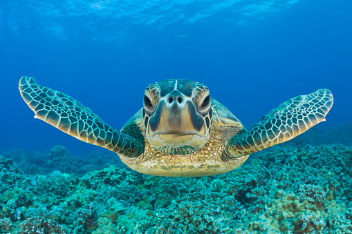 Pacific Ocean「Green Turtle, Chelonia mydas, Maui, Hawaii, USA」:スマホ壁紙(13)