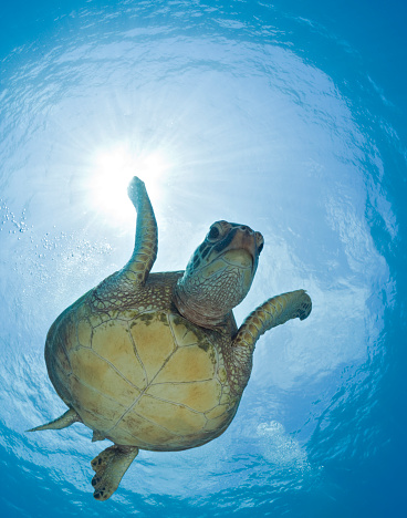 Green Turtle「Green Turtle, Chelonia mydas, Maui, Hawaii, USA」:スマホ壁紙(0)