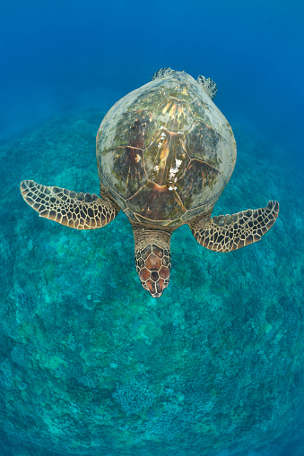Green Turtle「Green Turtle, Chelonia mydas, Maui, Hawaii, USA」:スマホ壁紙(8)