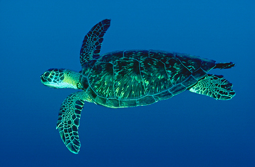 Green Turtle「Green Turtle Swimming」:スマホ壁紙(8)