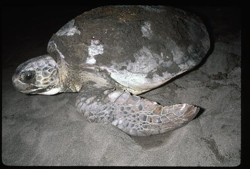 Green Turtle「Green Turtle in the Sand」:スマホ壁紙(12)