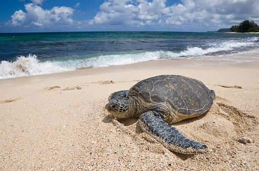 Green Turtle「Green Turtle at Haleiwa Beach Park, Chelonia mydas, Oahu, Pacific Ocean, Hawaii, USA」:スマホ壁紙(17)
