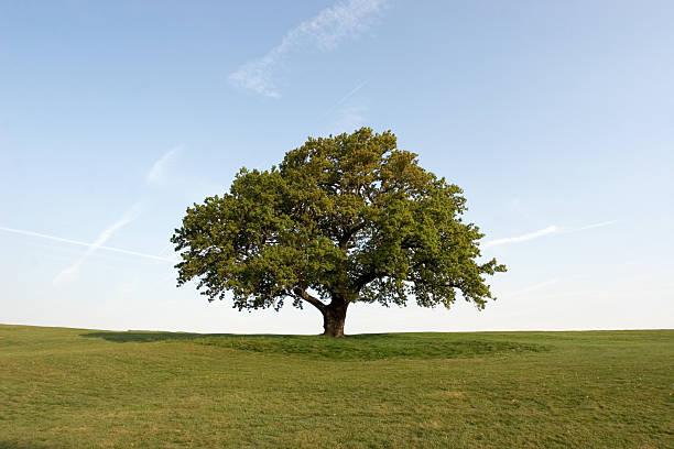 Spring Oak Tree set on a green field with clear blue skies:スマホ壁紙(壁紙.com)