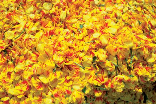Keukenhof Gardens「High angle view of yellow Tulips in a garden, Keukenhof garden, Lisse, Netherlands」:スマホ壁紙(10)
