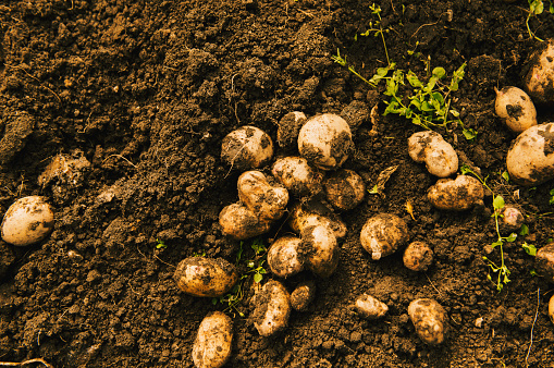 Harvesting「High angle view of potatoes growing in dirt」:スマホ壁紙(8)