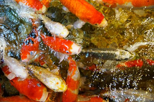 Carp「High Angle View Of Koi Carps Swimming In Water」:スマホ壁紙(5)