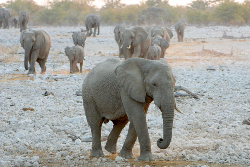 Approaching「High angle view of Elephant (Loxodonta) herd approaching waterhole. Etosha National Park, Namibia.」:スマホ壁紙(15)