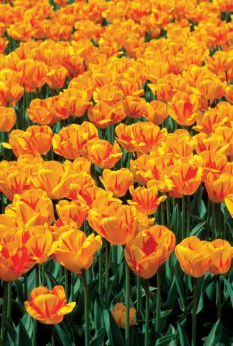 Keukenhof Gardens「High angle view of orange and yellow Tulips in a garden, Keukenhof garden, Lisse, Netherlands」:スマホ壁紙(13)