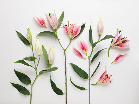 Lily「High angle view of pink and white lilies cut up into pieces laid out on a white background」:スマホ壁紙(13)