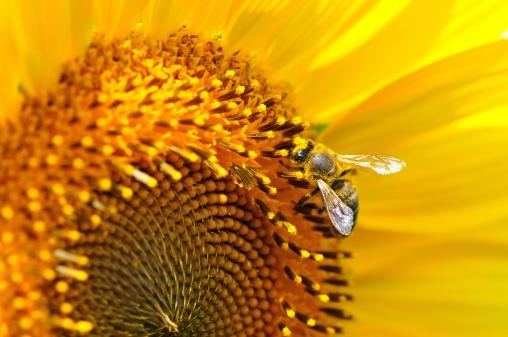 ひまわり「honey bee」:スマホ壁紙(14)
