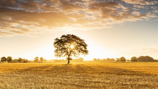 Single Tree「Tree in wheat field at sunrise」:スマホ壁紙(12)