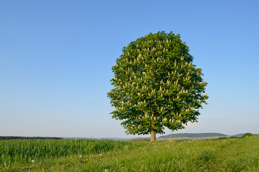 Chestnut Tree「Horse-Chestnut (Aesculus hippocastanum) tree in field.」:スマホ壁紙(14)