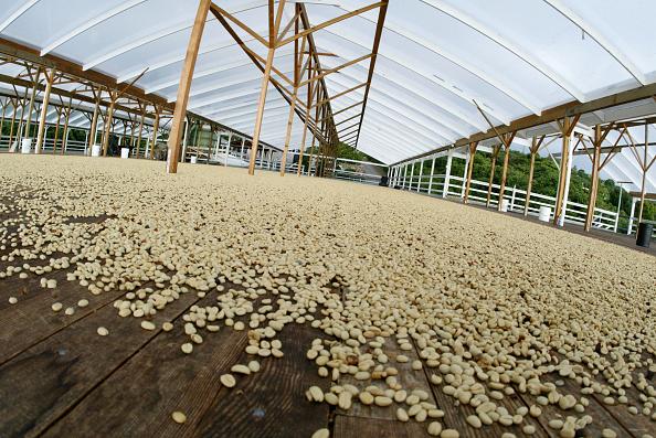 Drying「Kona Coffee Growers Raise Concern Over Genetically Modified Coffee Stock」:写真・画像(2)[壁紙.com]