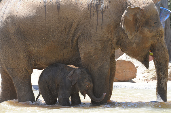 Melbourne Zoo「Baby Elephant Takes A Swim To Cool Off」:写真・画像(10)[壁紙.com]