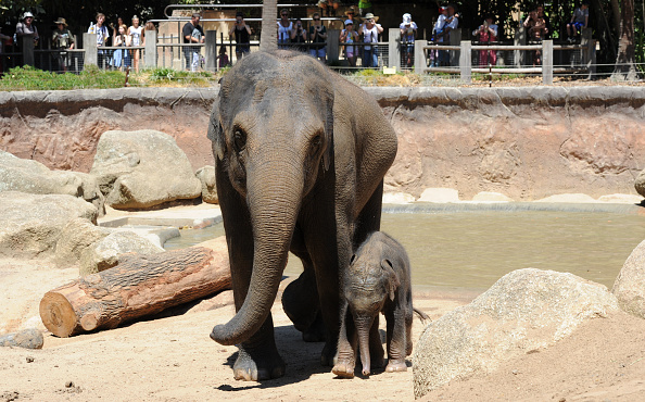 Melbourne Zoo「Baby Elephant Takes A Swim To Cool Off」:写真・画像(15)[壁紙.com]