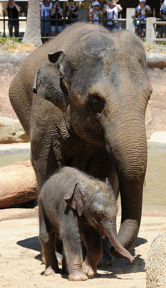 Melbourne Zoo「Baby Elephant Takes A Swim To Cool Off」:写真・画像(12)[壁紙.com]