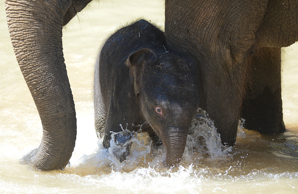 Melbourne Zoo「Baby Elephant Takes A Swim To Cool Off」:写真・画像(16)[壁紙.com]