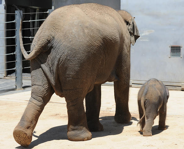 Melbourne Zoo「Baby Elephant Takes A Swim To Cool Off」:写真・画像(6)[壁紙.com]