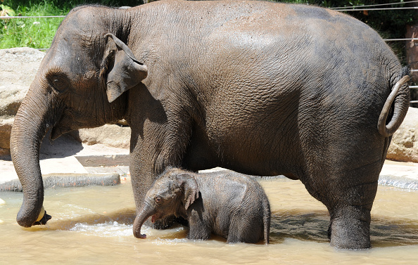 Melbourne Zoo「Baby Elephant Takes A Swim To Cool Off」:写真・画像(14)[壁紙.com]