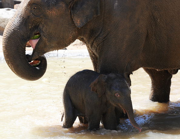 Melbourne Zoo「Baby Elephant Takes A Swim To Cool Off」:写真・画像(8)[壁紙.com]