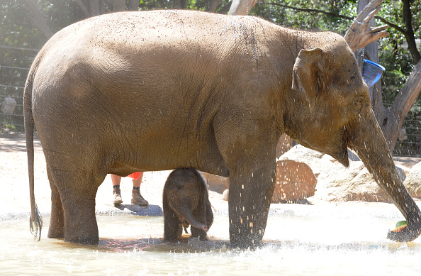 Melbourne Zoo「Baby Elephant Takes A Swim To Cool Off」:写真・画像(11)[壁紙.com]