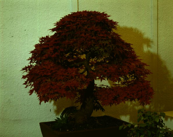 Japanese Maple「Bonsai Tree」:写真・画像(4)[壁紙.com]