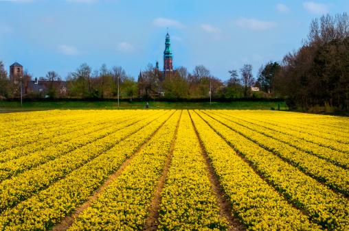 春「Rows of yellow Daffodils」:スマホ壁紙(18)