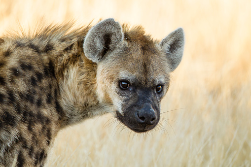 Animals Hunting「Botswana, Tuli Block, portrait of spotted hyena」:スマホ壁紙(11)