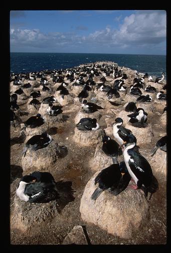 Falkland Islands「Nest Colony of Imperial Cormorants」:スマホ壁紙(3)