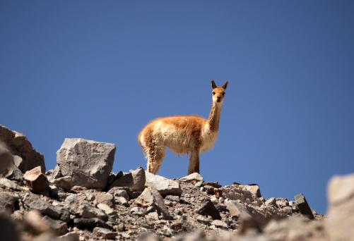Vicuna「Vicuna Llama」:スマホ壁紙(3)
