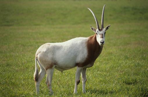 Gemsbok「Antelope」:スマホ壁紙(7)