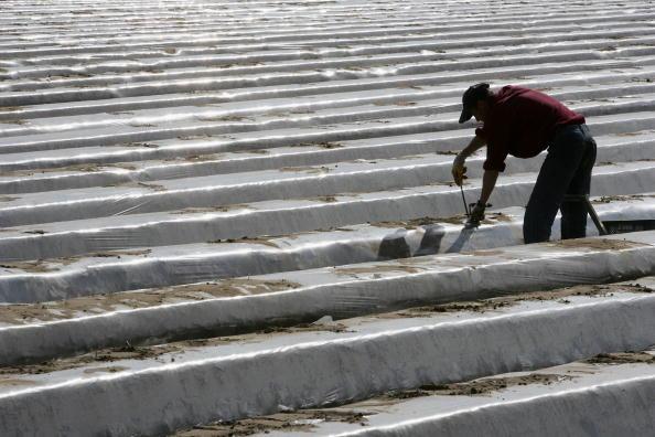 Asparagus「Asparagus Harvest Draws Seasonal Workers」:写真・画像(16)[壁紙.com]