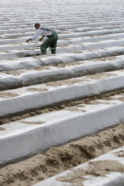 Asparagus「Asparagus Harvest Draws Seasonal Workers」:写真・画像(18)[壁紙.com]