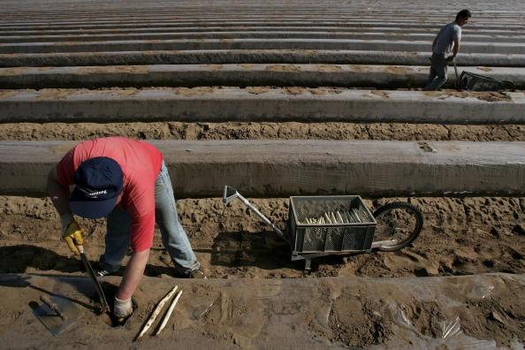 Asparagus「Asparagus Harvest Draws Seasonal Workers」:写真・画像(15)[壁紙.com]