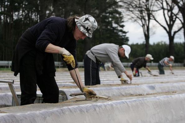 Asparagus「Asparagus Harvest Draws Seasonal Workers」:写真・画像(8)[壁紙.com]