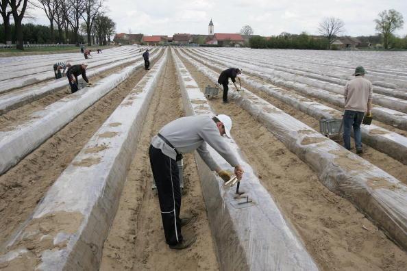 Asparagus「Asparagus Harvest Draws Seasonal Workers」:写真・画像(3)[壁紙.com]
