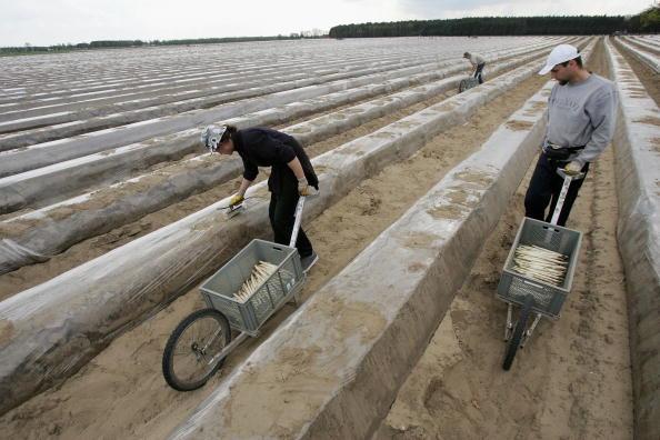 Asparagus「Asparagus Harvest Draws Seasonal Workers」:写真・画像(5)[壁紙.com]