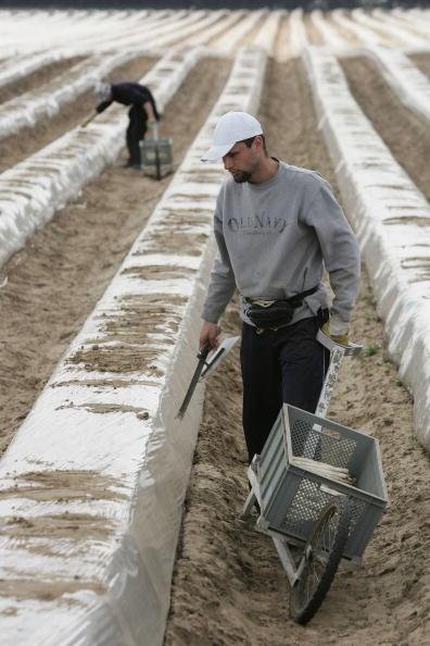Asparagus「Asparagus Harvest Draws Seasonal Workers」:写真・画像(4)[壁紙.com]