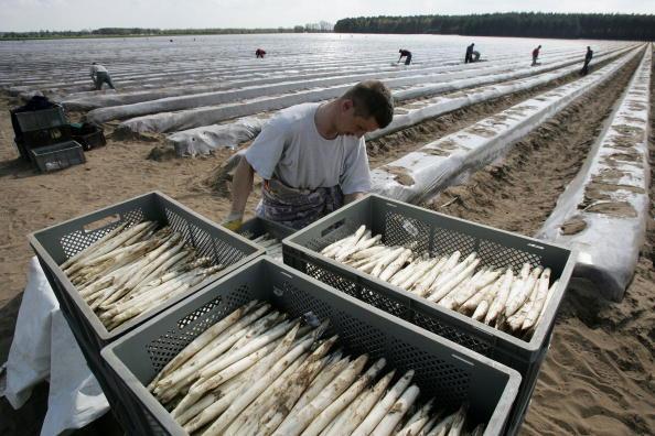 Asparagus「Asparagus Harvest Draws Seasonal Workers」:写真・画像(13)[壁紙.com]
