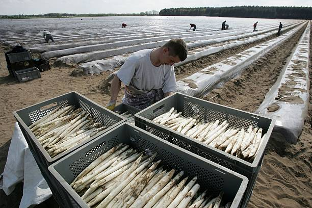Asparagus Harvest Draws Seasonal Workers:ニュース(壁紙.com)