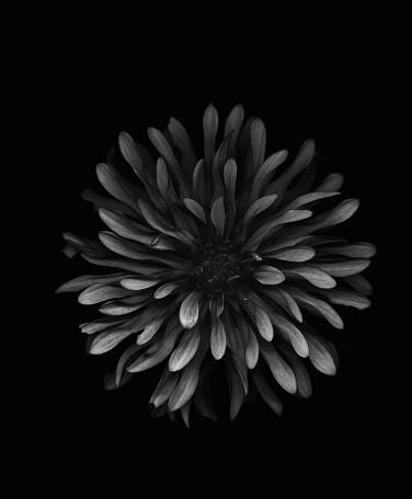 Endangered Species「Black dahlia on black background」:スマホ壁紙(8)