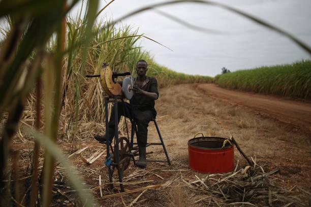 Workers Harvest Sugar Cane:ニュース(壁紙.com)