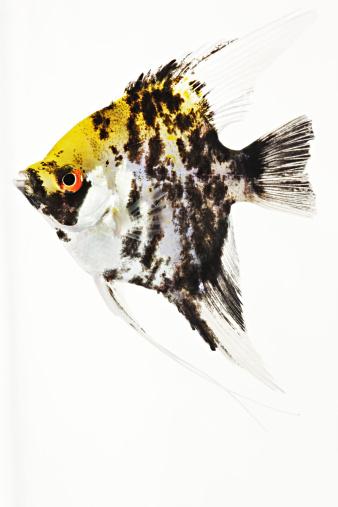 Carp「Koi Angel fish. Studio shot against white background.」:スマホ壁紙(17)
