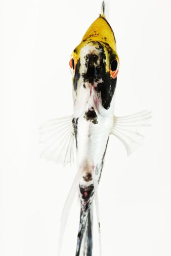 Carp「Koi Angel fish. Studio shot against white background.」:スマホ壁紙(12)